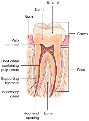 Root Canals Explained Pulsipher Endodontics
